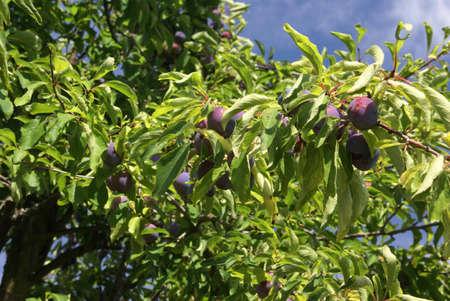 Italian prunes ripening on tree. Summer in   , Seattle garden, Pacific Northwest