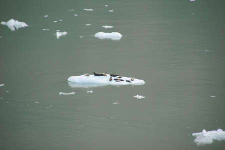 Fur seals on ice floes, Sawyer Glacier, Endicott Arm Fjord, Alaska