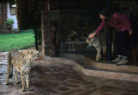 Cheetahs walking through guest lodge on a rainy afternoon   Okonjima,  Namibia, Africa