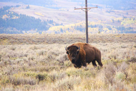 wherever: Single bull bison walking wherever he wants,,, [Bison bison] Grand Teton National Park, Wyoming