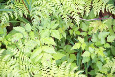 underbrush: Ferns and underbrush, Perseverance Trail,  Juneau, Alaska Stock Photo