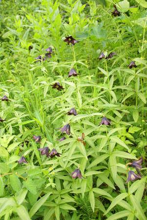 야생화 [fritillaria] 및 덤불, Perseverance Trail, 주노, 알래스카