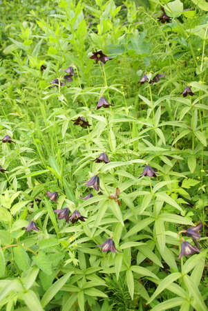 underbrush: Wildflower [fritillaria] and underbrush, Perseverance Trail,  Juneau, Alaska