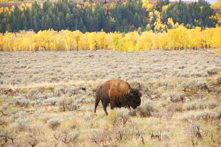 wants: Single bull bison walking wherever he wants,,, [Bison bison] Grand Teton National Park, Wyoming