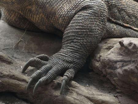Mond- en klauwen, detail, Komodo mabitang [Varadus komodoensis], Woodland Park Zoo, Seattle                    Stockfoto