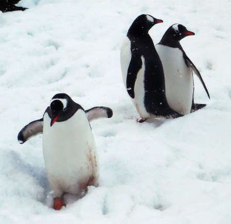 Three Gentoo penguins, waddling towards the water  [Pygoscelis papua] Neko Harbor, Andvord Bay, Antarctica photo
