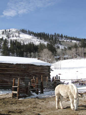 Draft horses in stable yard surrounded by winter snow,   Colorado           photo