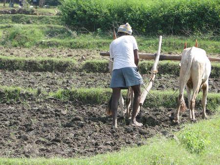 Indian farmer plowing with bullocks,   Andhra Pradesh,  India, Asia