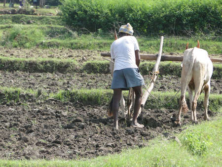 Indian farmer plowing with bullocks,   Andhra Pradesh,  India, Asia