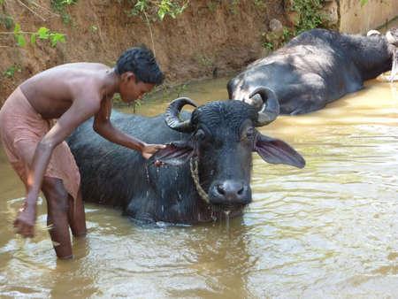 ORISSA,  INDIA - NOV 10  - Young boy washes his  water buffalo in a shady river  on  Nov 10, 2009 in Orissa, India.