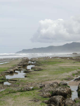 Low tide, tide pools, gulls with barnacle and mussel covered rocks,Oregon Coast Stock Photo - 7311720