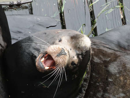 pinniped: California sea lions on wharf, Newport Bay Harbor,Oregon coast