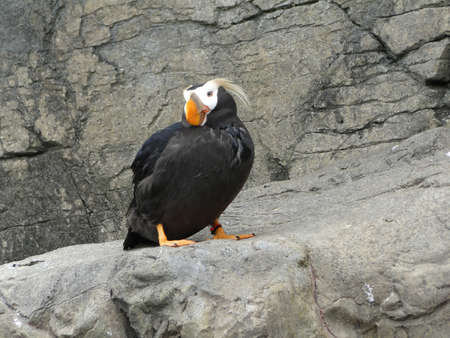 tufted: Tufted puffin
