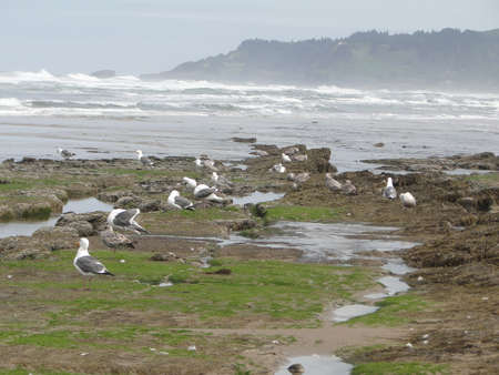 Low tide, tide pools, gulls with barnacle and mussel covered rocks,Oregon Coast