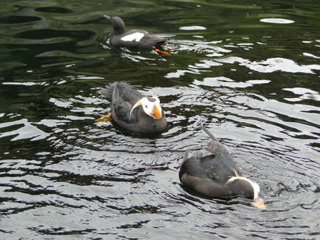 tufted puffin: Tufted puffin             Stock Photo