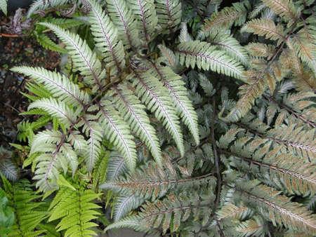 Vari colored ferns  in shade garden in Seattle                            photo