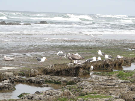 Low tide, tide pools, gulls with barnacle and mussel covered rocks,Oregon Coast Stock Photo - 8010593