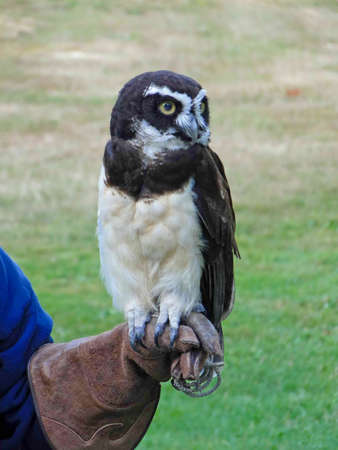 talons: Spectacled owl,  [Pulsatrix perspicillata]  grabs his trainers glove with talons, Pacific Northwest zoo