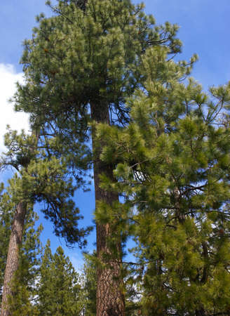 Panorama, ponderosa pines and blue sky,  Deschutes River trail, Central Oregon   photo