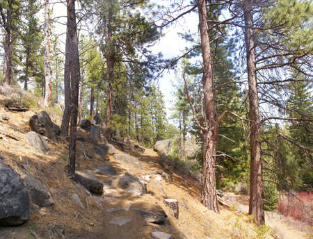 ponderosa: Ponderosa pines along forest trail,  Shevlin Park, Central Oregon