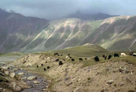 tajikistan: Marco Polo sheep grazing on flat steppes. Owned by nomads, descentdants of the Mongols of Genghis Khan.    Pamir mountain range, Himalayas, Central Asia, former USSR, now border of Tajikistan and Kyrgyzstan, near Afghanistan   Stock Photo