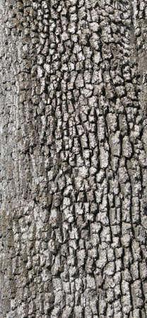 Detail, gray tree bark Beacon Hill Park, Victoria, BC, Canada                 photo