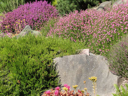seca: Heathers and drought tolerant plants in a Seattle garden.