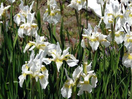 Detail, white iris in summer garden    in Maine