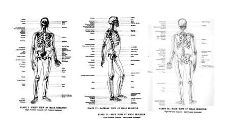 učebnice: 3 Pohledy na lidské kostry, plné čelní, boční a zadní, od z tisku knihy, Anatomie pro studenty umění sirem Alfredem Downing Fripp, Ralph Thompson, Harry Dixon - 1911 Redakční