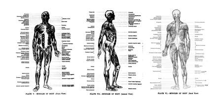 musculature: 3 Views of the human muscles, full frontal , lateral and rear,  from out of print book, Human anatomy for art students by Sir Alfred Downing Fripp, Ralph Thompson, Harry Dixon - 1911