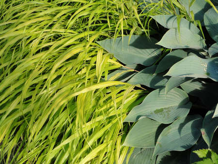 hostas: Detail, Hostas and ornamental grass  in shade garden in Seattle