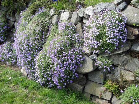 victoria bc: Blue phlox on stone wall in garden, Victoria, BC, Canada                      Stock Photo