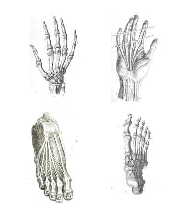 medical drawing: 4 Views of the human hand and foot from The anatomy of the human body by  William Cheselden in 1763.