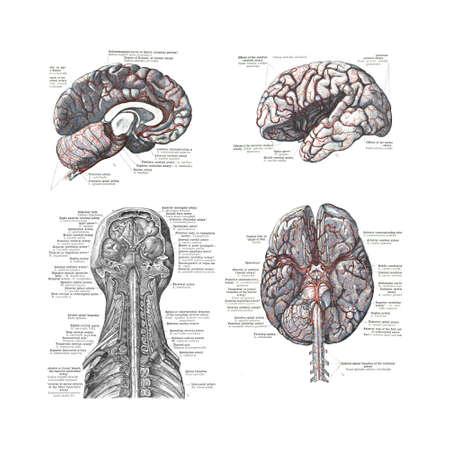 anatomie mens: 4 Standpunten van de menselijke hersenen uit een atlas van de menselijke anatomie: Carl Toldt - 1904