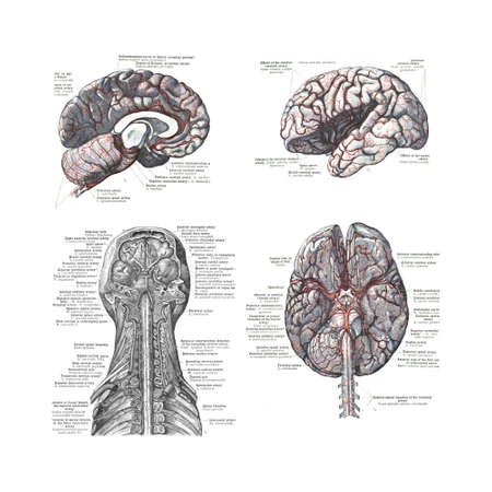 medical drawing: 4 Views of the human brain  from  An atlas of human anatomy: Carl Toldt - 1904   Stock Photo