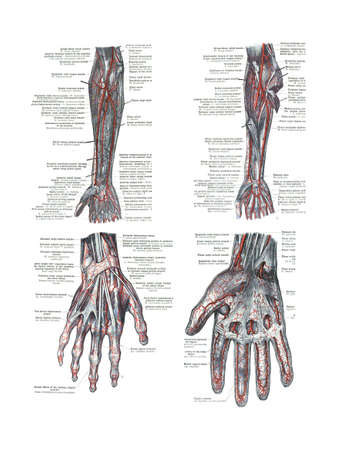 4 Views of the human hand and arm  from  An atlas of human anatomy: Carl Toldt - 1904   스톡 콘텐츠