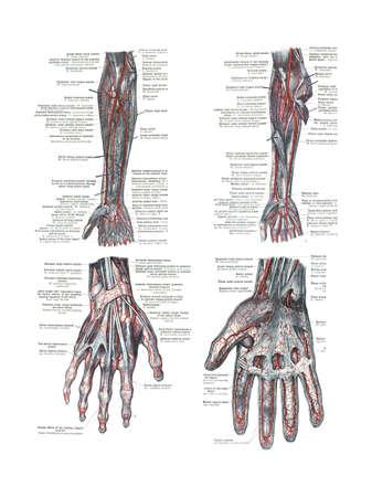 4 Standpunten van de menselijke hand en de arm van een atlas van de menselijke anatomie: Carl Toldt - 1904