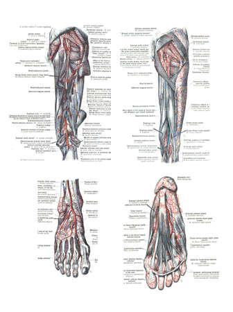 4 Ansichten des menschlichen Fuß und Bein aus einem Atlas der Anatomie des Menschen: Carl Toldt - 1904 Standard-Bild - 11306618