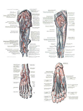 musculature: 4 Views of the human foot and leg from  An atlas of human anatomy: Carl Toldt - 1904