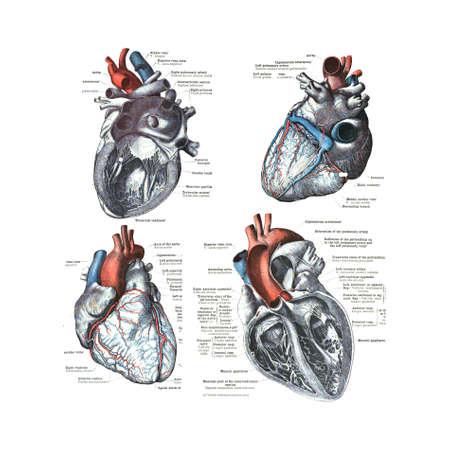 corazon humano: 4 Vistas del corazón humano de un atlas de anatomía humana: Carl Toldt - 1904.