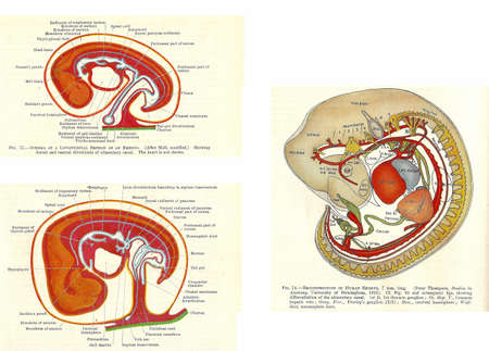 dissection: Stages in human fetal development  from an early 20th century anatomy textbook, out of copyright