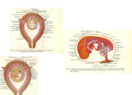 human anatomy: Stages in human fetal development  from an early 20th century anatomy textbook, out of copyright