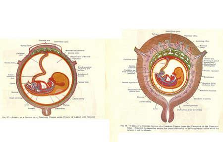 Fasen in de menselijke ontwikkeling van de foetus van een vroeg 20e-eeuwse anatomie leerboek, uit van het auteursrecht Stockfoto