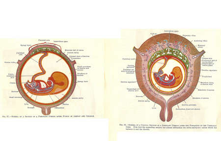 Stages in human fetal development  from an early 20th century anatomy textbook, out of copyright  Archivio Fotografico