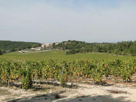 Grape vines in vineyard near Crestet, France  Stock Photo - 11309190
