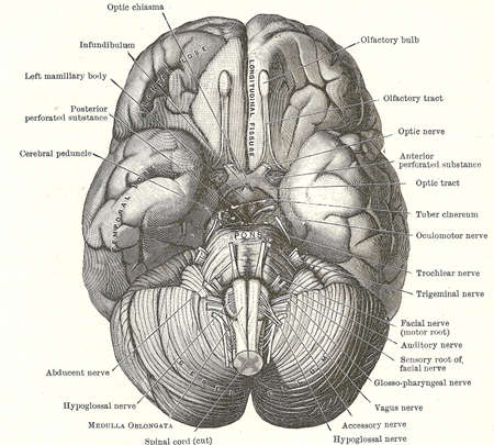 Dissection of the human brain - base of brain and cranial nerves,from an early 20th century anatomy textbook, out of copyright