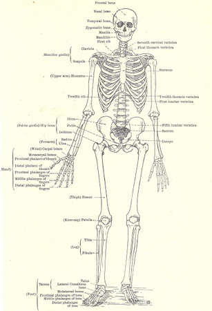 Human skeleton, full   view, from an early 20th century anatomy textbook, out of copyright