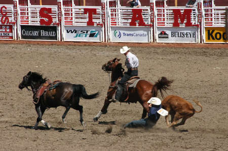 calgary stampede: CALGARY CANADA JULY 2004 -  Cowboy wrestling steer to the ground, , Calgary Stampede, Alberta, Canada