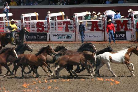 CALGARY CANADA JULY 2004 -  Wild horse round up,  Calgary Stampede, Alberta, Canada