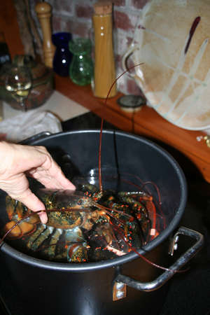 Putting lobsters into the pot Mount Desert Island, Acadia National Park, Seawall Maine  Stock Photo